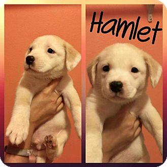 Golden Retriever Mix Puppy for adoption in Mesa, Arizona - Hamlet