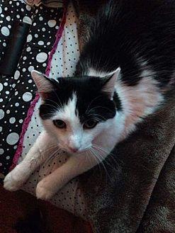 Domestic Shorthair Kitten for adoption in Sacramento, California - Elizabeth