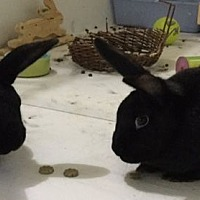 Adopt A Pet :: Raven and Sable - Moneta, VA