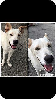 Labrador Retriever Mix Dog for adoption in Providence, Rhode Island - Bob