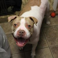 Mixed Breed (Large) Mix Dog for adoption in Hopkinton, Massachusetts - Keanu In Foster