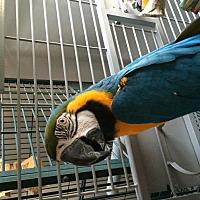 Adopt A Pet :: Koty - Punta Gorda, FL