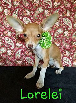 Norwich Terrier/Chihuahua Mix Puppy for adoption in Troutville, Virginia - Lorelei