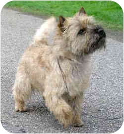 Cairn Terrier Dog for adoption in proctorville, Ohio - max