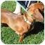 Photo 1 - Dachshund Dog for adoption in Garden Grove, California - Charlotte
