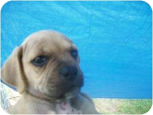 Pug Mix Puppy for adoption in Lonedell, Missouri - Pucker-A