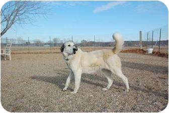 Great Pyrenees/Retriever (Unknown Type) Mix Dog for adoption in Council Bluffs, Iowa - Kya