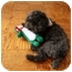 Photo 3 - Poodle (Miniature) Dog for adoption in Long Beach, New York - Melvin