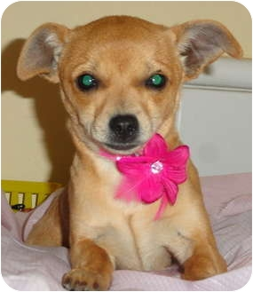 Jack Russell Terrier/Dachshund Mix Puppy for adoption in Santa Ana, California - Capoochino