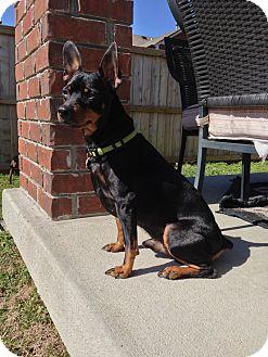 Miniature Pinscher Dog for adoption in Nashville, Tennessee - Brutus