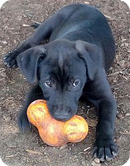 Border Collie/Labrador Retriever Mix Puppy for adoption in Orange Lake, Florida - Chassie