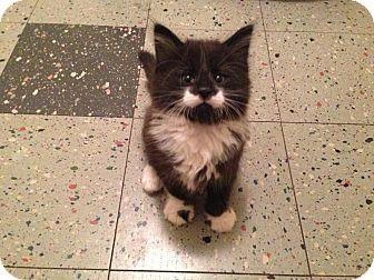 Domestic Shorthair Kitten for adoption in Eagan, Minnesota - Ralph