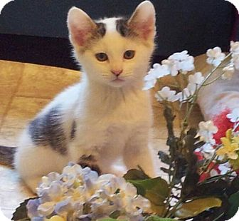Domestic Shorthair Kitten for adoption in Huntsville, Alabama - Jonquil