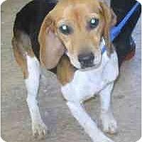 Adopt A Pet :: # 11b Beagle - ADOPTED! - Alliance, OH