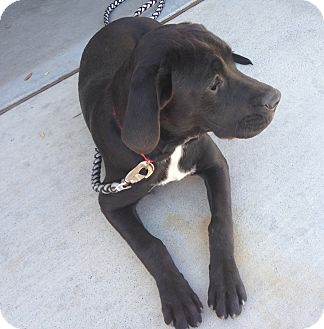 Labrador Retriever Mix Puppy for adoption in Las Vegas, Nevada - Georgia