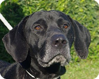 Labrador Retriever Mix Dog for adoption in Daytona Beach, Florida - Buddy