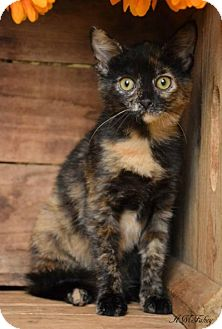 Domestic Shorthair Cat for adoption in Germantown, Maryland - Lola