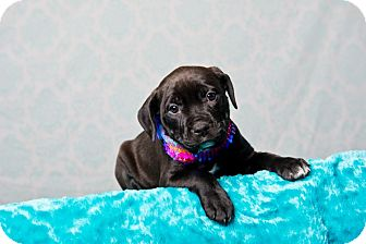 American Staffordshire Terrier/Rottweiler Mix Puppy for adoption in Houston, Texas - Cookie