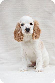 Cavalier King Charles Spaniel/Cocker Spaniel Mix Puppy for adoption in Auburn, California - Paddington Bear