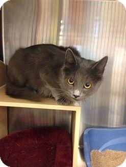 Russian Blue Cat for adoption in San Leandro, California - Babushka