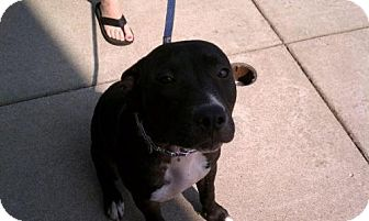 Pit Bull Terrier Dog for adoption in Dover, Tennessee - Jade