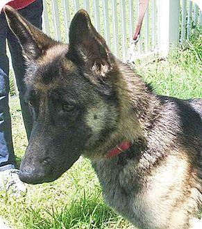 German Shepherd Dog Dog for adoption in Manor, Texas - Sonoma