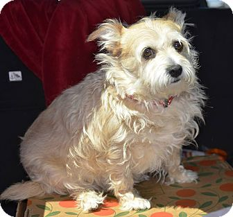 Wirehaired Fox Terrier Mix Dog for adoption in Meridian, Idaho - Angel
