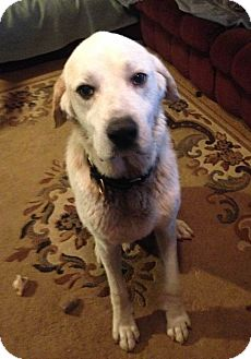 Great Pyrenees Mix Dog for adoption in Hainesville, Illinois - Sargent