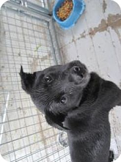 Labrador Retriever Mix Dog for adoption in New palestine, Indiana - SlimJim