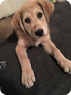 Great Pyrenees Mix Puppy for adoption in ST LOUIS, Missouri - Emmie-Lou