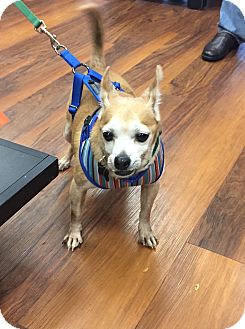 Chihuahua Mix Dog for adoption in Wilmington, Delaware - Marco