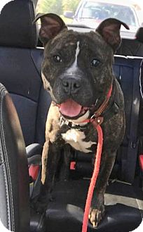 Pit Bull Terrier Mix Dog for adoption in Hartford, Connecticut - Hank
