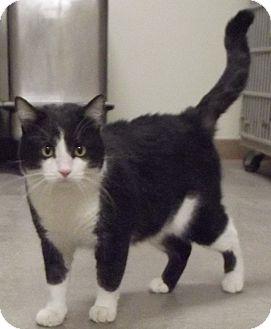 Domestic Shorthair Cat for adoption in Cheboygan, Michigan - 21044