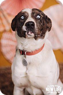 Australian Shepherd Mix Dog for adoption in Portland, Oregon - Hobert