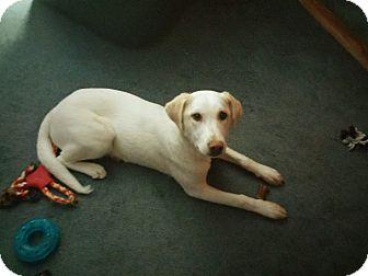 Labrador Retriever Mix Dog for adoption in Mooresville, Indiana - Zeena