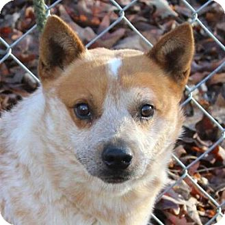 Blue Heeler Mix Dog for adoption in Spring Valley, New York - Pepper