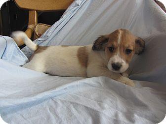 Australian Shepherd Mix Puppy for adoption in Ridgway, Colorado - Blossom