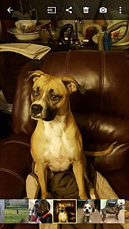 Boxer Mix Dog for adoption in Memphis, Tennessee - Mena