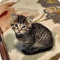 Adopt A Pet :: Mb Litter - Lollipop - ADOPTED - Livonia, MI