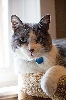 Domestic Mediumhair Cat for adoption in Edmonton, Alberta - Mickey Mouse