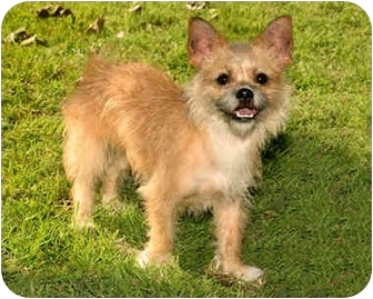 Norfolk Terrier/Chihuahua Mix Dog for adoption in Marina del Rey, California - Tessa