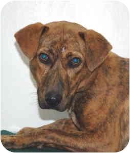 Hound (Unknown Type) Mix Dog for adoption in Port Washington, New York - Ripple