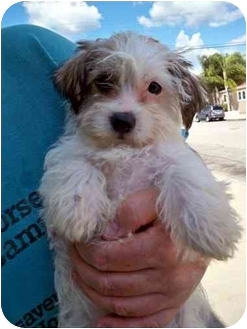 Shih Tzu/Terrier (Unknown Type, Small) Mix Puppy for adoption in Los Angeles, California - LADY GAGA