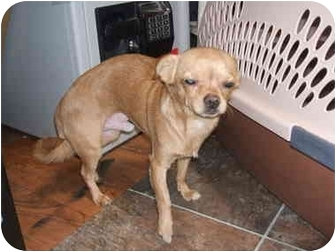 Chihuahua/Pug Mix Dog for adoption in SCOTTSDALE, Arizona - PEANUT