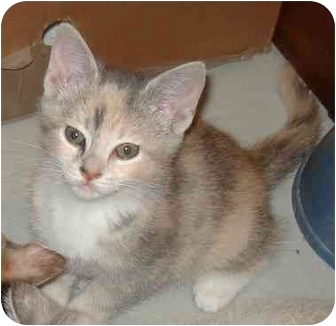 Calico Kitten for adoption in Harriman, New York - Lily