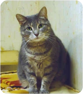 Domestic Shorthair Cat for adoption in Chicago, Illinois - Lilliana