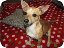 Chihuahua Dog for adoption in Foster, Rhode Island - Brownie