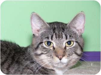 Domestic Shorthair Cat for adoption in Medford, Massachusetts - Leonardo