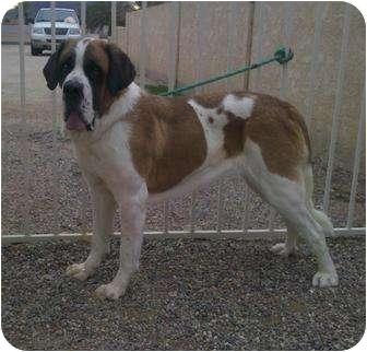 St. Bernard Dog for adoption in Glendale, Arizona - ALICE