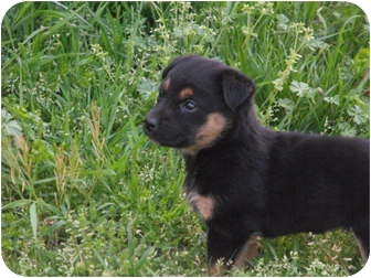 Beagle/Australian Cattle Dog Mix Puppy for adoption in Wilminton, Delaware - Roxy